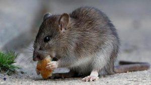 kártevőirtás patkányirtás